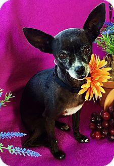 Chihuahua Dog for adoption in Irvine, California - Xena