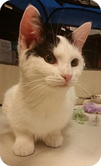 Domestic Shorthair Cat for adoption in Philadelphia, Pennsylvania - Meadow