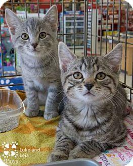 Domestic Shorthair Kitten for adoption in Merrifield, Virginia - Luke