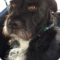 Giant Schnauzer/Terrier (Unknown Type, Medium) Mix Dog for adoption in Dana Point, California - George