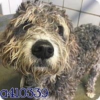 Adopt A Pet :: A410339 - San Antonio, TX