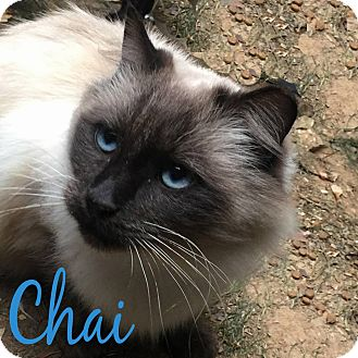 Domestic Mediumhair Cat for adoption in Tega Cay, South Carolina - Chai