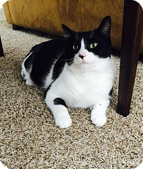 Domestic Shorthair Cat for adoption in Acme, Michigan - Biz