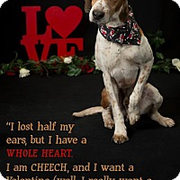 Adopt A Pet :: Cheech - Virginia Beach, VA