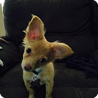 Chihuahua Mix Puppy for adoption in Alpharetta, Georgia - Pico