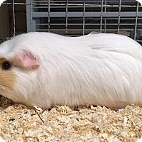 Adopt A Pet :: Nessie - Hammond, IN