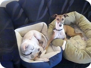 Italian Greyhound Dog for adoption in San Diego, California - Milano
