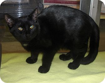 Domestic Shorthair Cat for adoption in Richmond, Virginia - Windsor