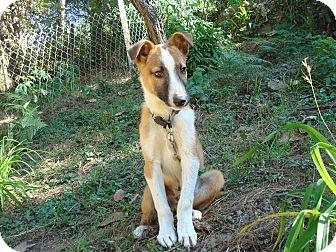 Labrador Retriever/Shepherd (Unknown Type) Mix Puppy for adoption in Redmond, Washington - Dwight