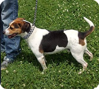 Beagle Dog for adoption in Albert Lea, Minnesota - Henry