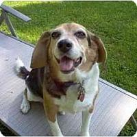 Adopt A Pet :: Ringo - Novi, MI