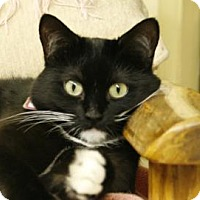 Domestic Shorthair Cat for adoption in Mountain Center, California - Grace