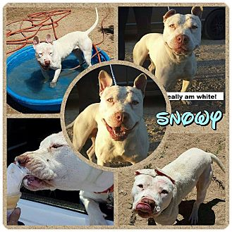Bull Terrier/Staffordshire Bull Terrier Mix Dog for adoption in Los Angeles, California - Adorable Snowy