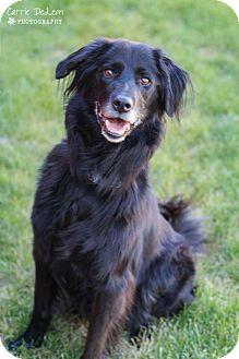Border Collie/Labrador Retriever Mix Dog for adoption in Seattle, Washington - Sadie