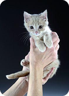 Domestic Shorthair Kitten for adoption in Cincinnati, Ohio - Snuggles