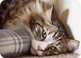 Maine Coon Cat for adoption in Incline Village, Nevada - Carly
