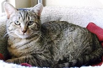 Domestic Shorthair Cat for adoption in Fredericksburg, Texas - Willow