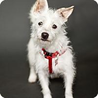 Adopt A Pet :: Kibbles - Thousand Oaks, CA