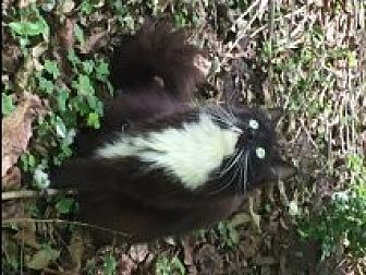 Domestic Longhair Cat for adoption in Naples, Florida - Minx