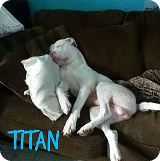 American Pit Bull Terrier Dog for adoption in Des Moines, Iowa - Titan