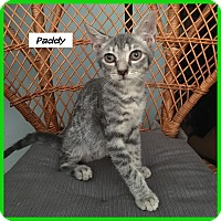 Adopt A Pet :: Paddy - Miami, FL