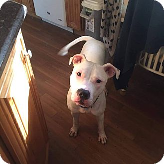 American Bulldog Mix Dog for adoption in Levitttown, New York - Darla
