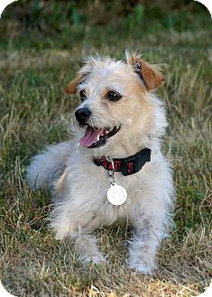 Wheaten Terrier/Jack Russell Terrier Mix Dog for adoption in Salem, Oregon - Harley