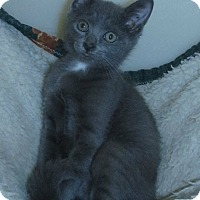 Domestic Shorthair Cat for adoption in Menomonie, Wisconsin - Tayla