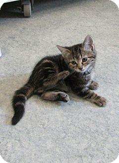 Domestic Shorthair Kitten for adoption in Warrenton, North Carolina - Sam