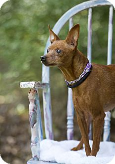 Miniature Pinscher Dog for adoption in Holland, Ohio - Cora