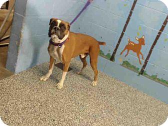 Boxer Mix Dog for adoption in San Bernardino, California - URGENT on 10/22 SAN BERNARDINO