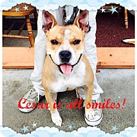 Adopt A Pet :: Cesar-good w/ kids&other dogs! - Lincoln, CA