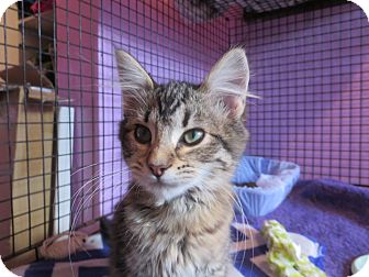 Domestic Mediumhair Kitten for adoption in Coos Bay, Oregon - Willow