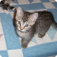 Adopt A Pet :: Sigourney-Kitten born Sept - Taylor Mill, KY