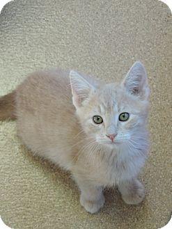 Domestic Shorthair Kitten for adoption in Brookings, South Dakota - Stuart