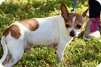 Chihuahua Mix Dog for adoption in Brownsville, Texas - Brother