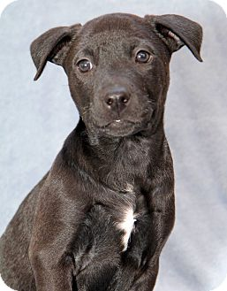 Labrador Retriever/Pit Bull Terrier Mix Puppy for adoption in Encinitas, California - Nixon