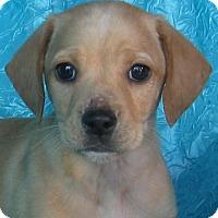 Adopt A Pet :: Bright Idea Drummer - Cuba, NY