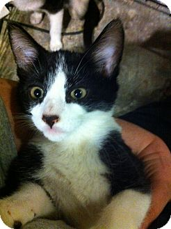 Domestic Shorthair Kitten for adoption in Pittstown, New Jersey - Dart