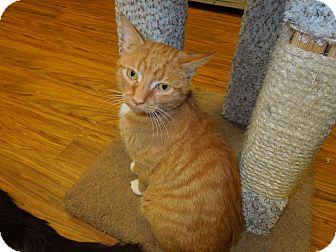Domestic Shorthair Cat for adoption in Medina, Ohio - Emmett