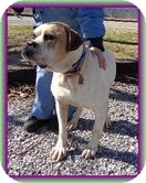 English Bulldog/American Bulldog Mix Dog for adoption in Windham, New Hampshire - Cuddles