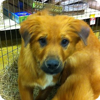 Shepherd (Unknown Type) Mix Puppy for adoption in Gainesville, Florida - Wendi
