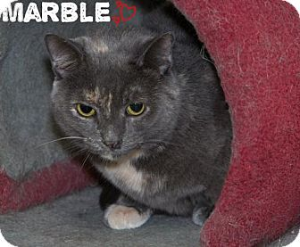 Domestic Shorthair Cat for adoption in River Edge, New Jersey - Marble