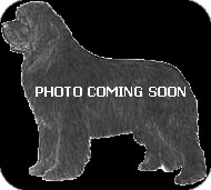 Newfoundland Dog for adoption in NATIONWIDE, Ohio - Newfy