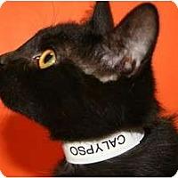 Adopt A Pet :: CALYPSO - SILVER SPRING, MD