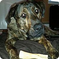 Adopt A Pet :: Big Baby Tank - Marlton, NJ
