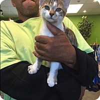 Domestic Shorthair Kitten for adoption in Barnwell, South Carolina - Fischer