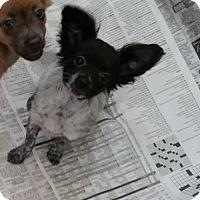Adopt A Pet :: Sweet Pea - Stockton, CA
