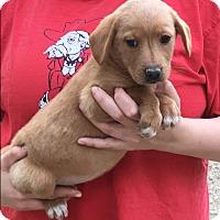 Adopt A Pet :: Cayenne - Pewaukee, WI