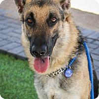 Adopt A Pet :: Bullet - Phoenix, AZ